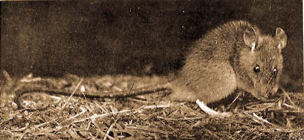 patkányféreg farokkal
